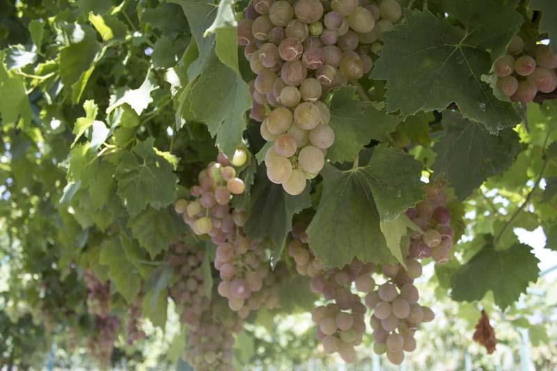 Виноград Кубани